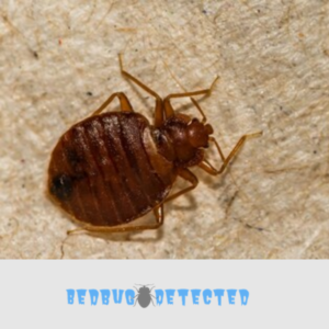 bedbugs picture