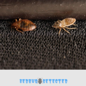 bedbug on dark floor