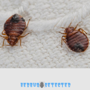 two bedbugs
