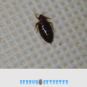 Bed bug on a carpet