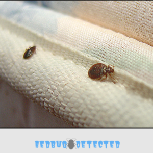 bedbugs on sheet