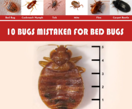 10-BUGS-MISTAKEN-FOR-BED-BUGS