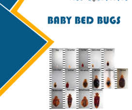 BABY-BED-BUGS