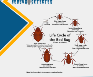How-do-bed-bugs-multiply