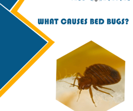 WHAT-CAUSES-BED-BUGS