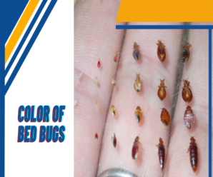 COLOR OF BED BUGS