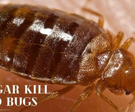 Vinegar Kill Bed Bugs