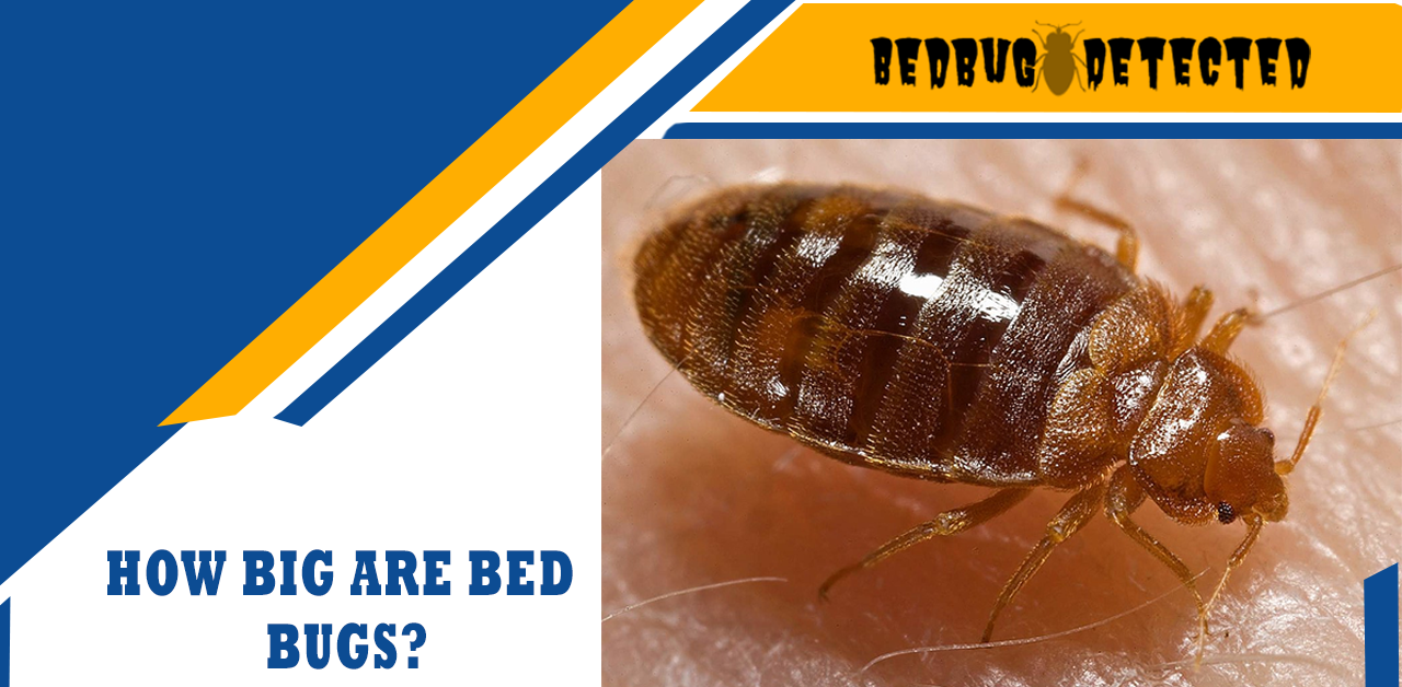 HOW BIG ARE BED BUGS?