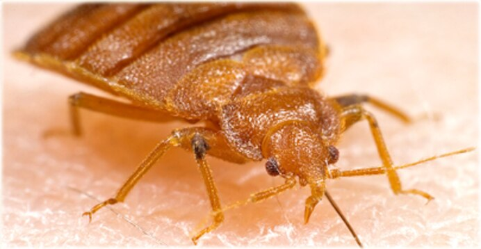 Bed Bugs Fly