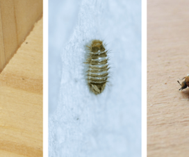 Do carpet beetles get in your bed?