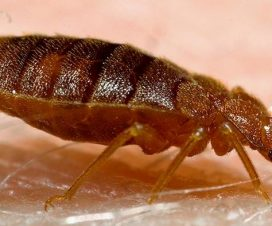 Most lethal enemies of bedbugs