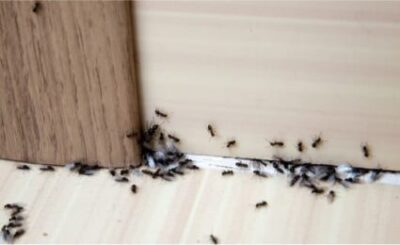Do Ants Bed Bugs